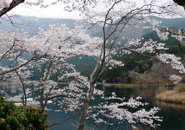 2010_4-11田貫湖の桜 135