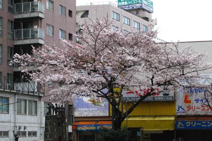 交差点の桜