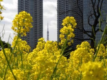 東京タワーと菜の花