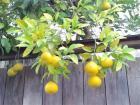 板塀と夏蜜柑