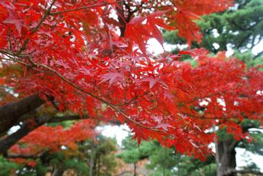 兼六園の紅葉の種を拾ってきました(^0^)