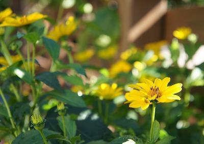 ヒメヒマワリ二番花