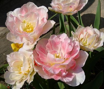 バラ咲きのアンジェリケ