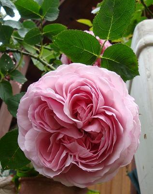 ピンクっぽい藤色