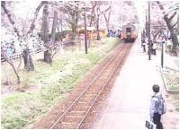 0502_sakura2.jpg