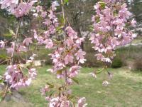 かなぎ桜まつり2010.05.04 007