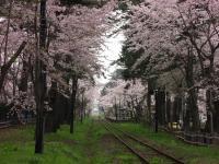 かなぎ桜まつり2010.05.04 018