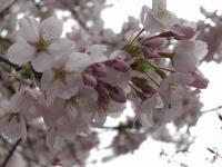 かなぎ桜まつり2010.05.04 012