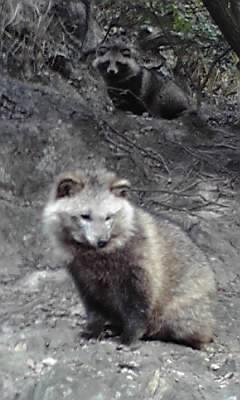 仙酔島の狸