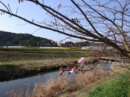 河と桜と菜の花と