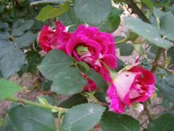 家の庭のバラが満開です