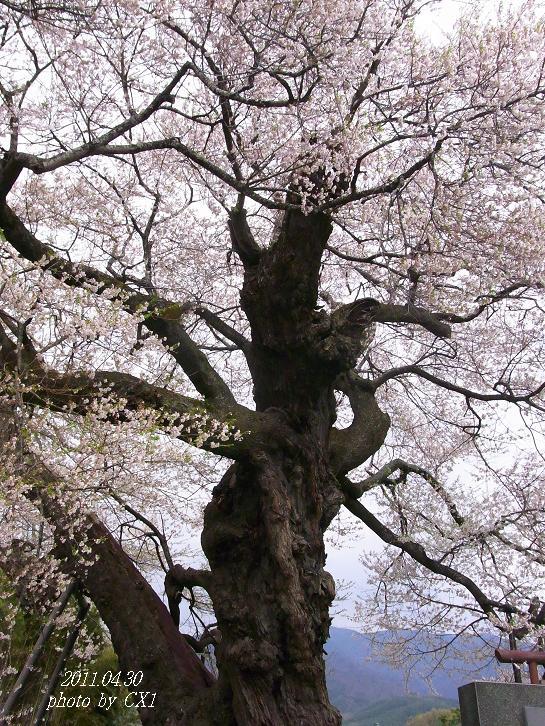 権現桜-2