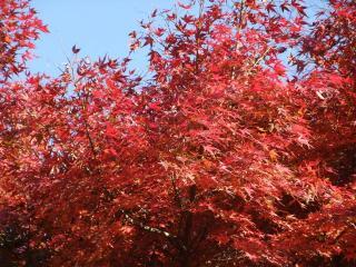 2009 12.4 紅葉 1
