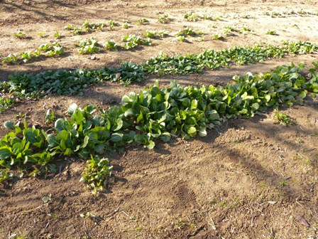 庭の畑の小松菜