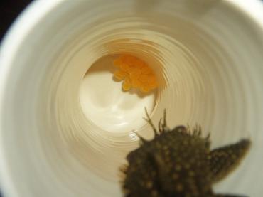 ミニブシ産卵_20100212