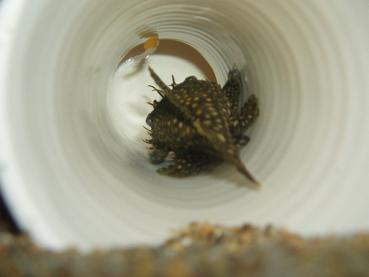 第10弾ミニブシ孵化