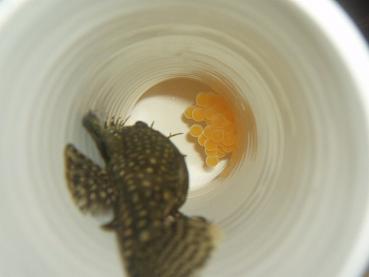第12段ミニブシ産卵