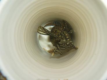 第12弾ミニブシ孵化
