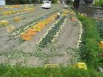 20100504淡路 榎列 たまねぎ収穫
