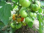 20100710トマト1