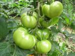 20100710トマト2