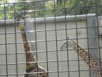 20101011王子動物園キリン