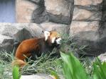 20101011王子動物園レッサーパンダ