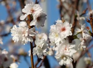 狂い咲き1P1030993
