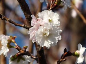 狂い咲き3P1030996