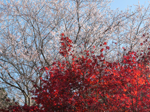 四季桜1P1040079