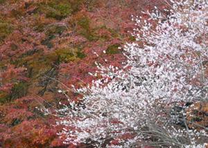 四季桜3P1040084