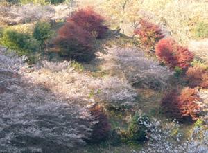 四季桜7P1040122