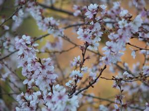 四季桜5P1040110