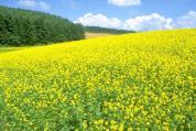 黄色い花畑640