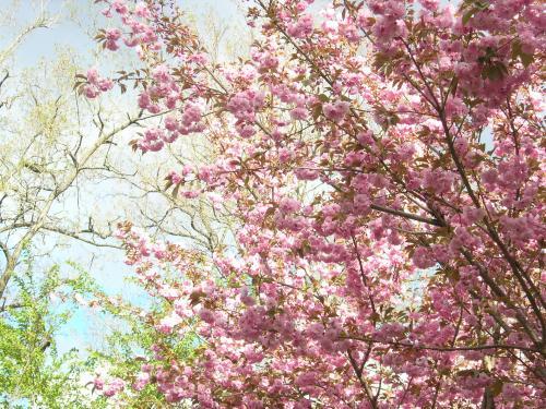 わさび畑の桜