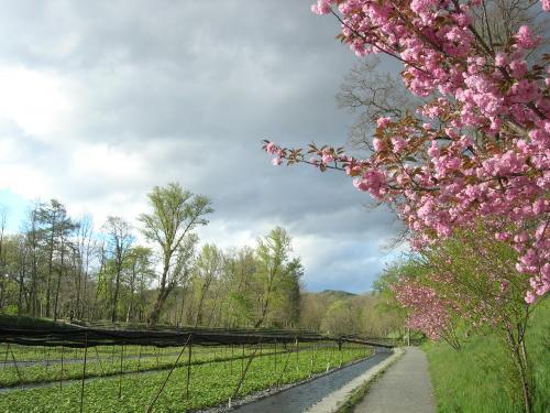 桜とわさび畑