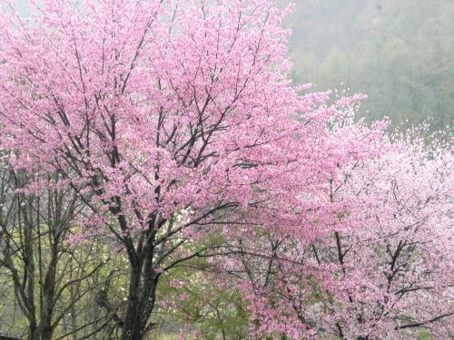 大出の桜2