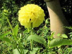 黄色花250