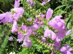 紫色250