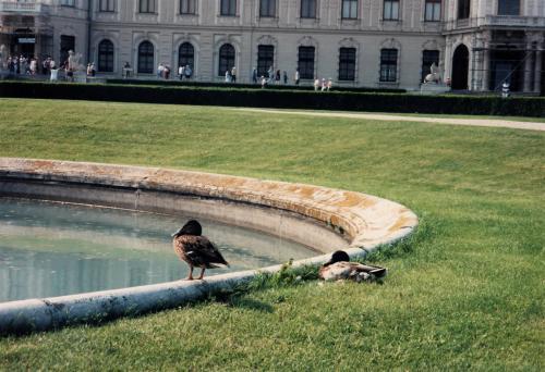ベルベデーレ宮殿・噴水の鴨