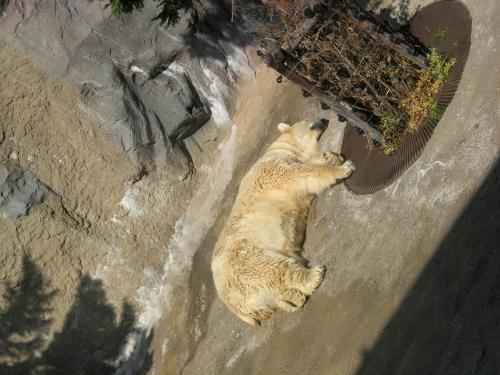 地上のシロクマ
