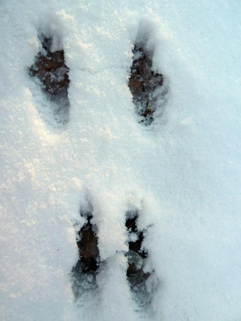 ウサギの拡大足跡