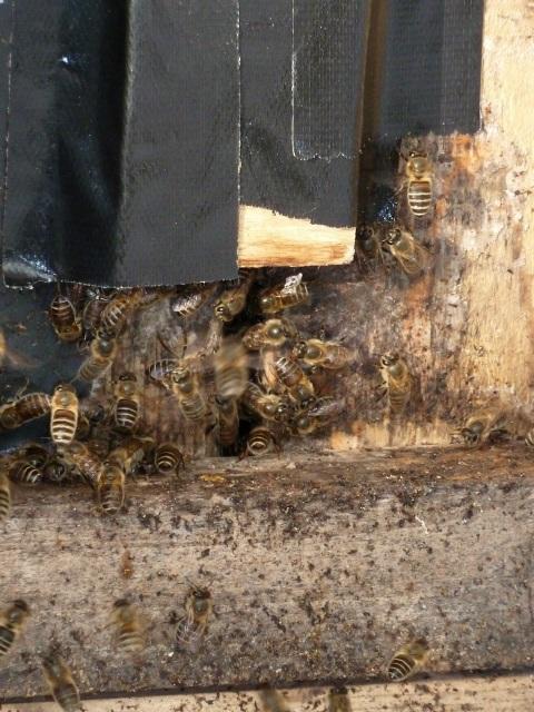 巣門から出てくる日本ミツバチ