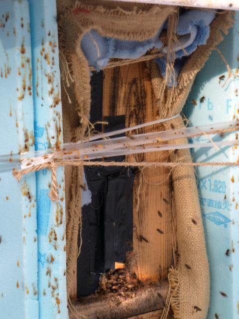 巣箱についたハチたちの糞