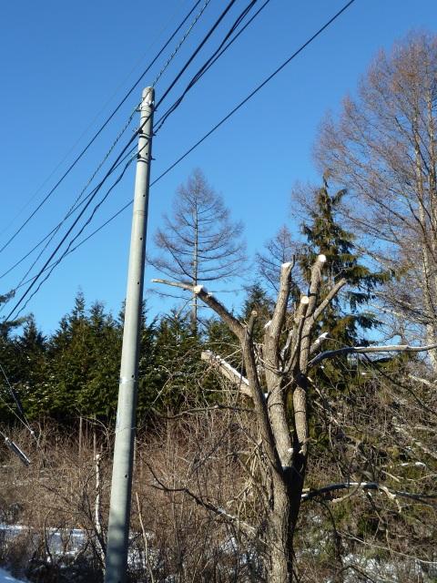 枝払いを終えた木