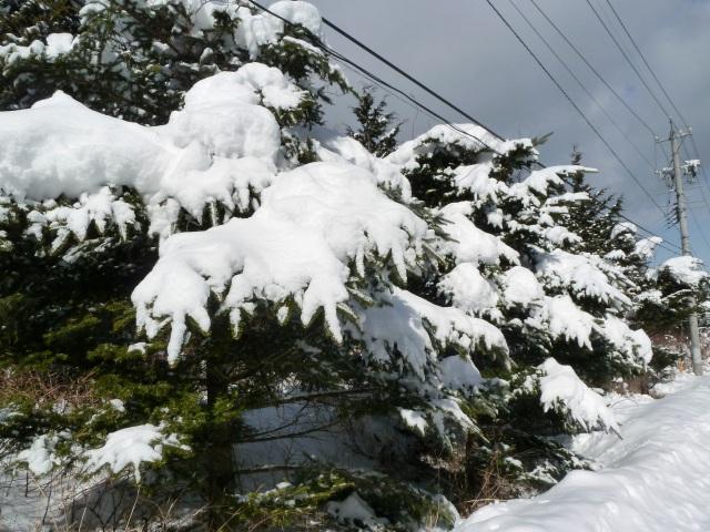 雪をかぶるモミの木