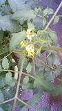ミニトマト花