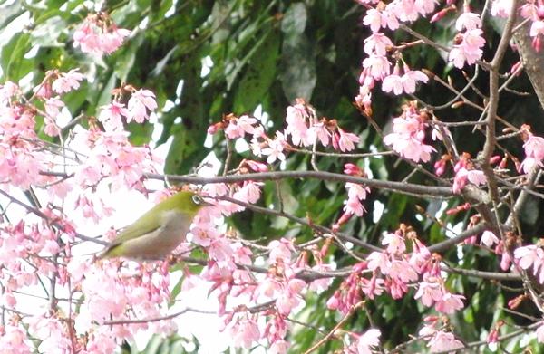 京都市百万遍知恩寺の桜とメジロ