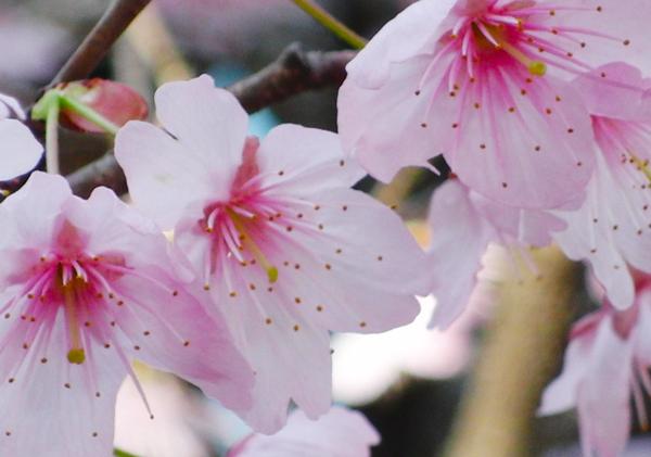 京都市 百万遍知恩寺 桜