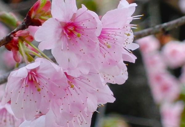 京都市百万遍知恩寺の桜